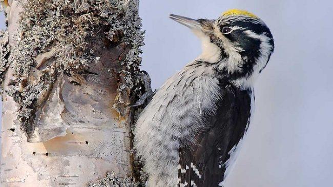 Pájaro carpintero, Pico Tridáctilo Euroasiático