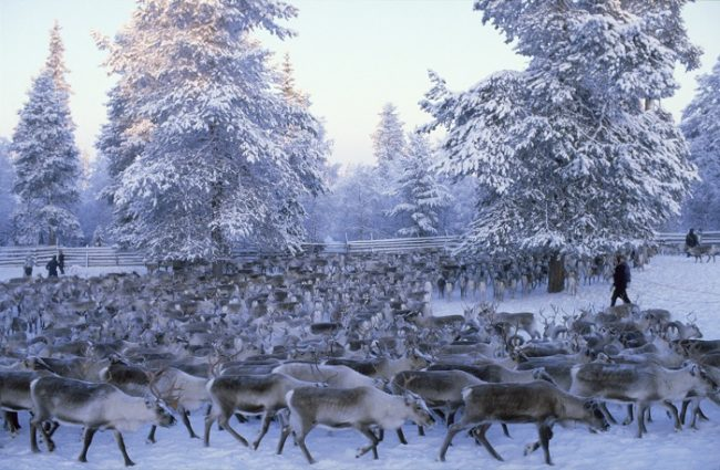 Agrupando a los renos en invierno para desparasitar y seleccionar los que serán sacrificados