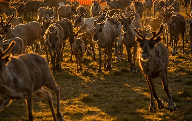 Momento antes de marcar a los renos-novillos hay que saber quien es su madre