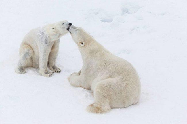 El zoo de Ranua es el único de Finlandia que alberga osos polares