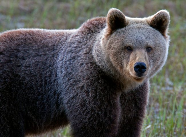Observar osos en la zona de Kuusamo, sin ser observados, es posible