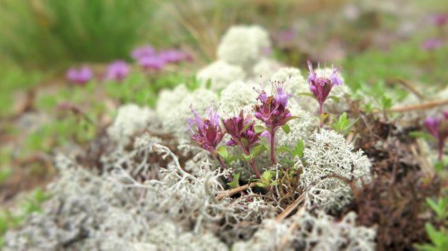 El Serpol y la Cladonia rangiferina, el liquen de los renos, son abundantes en el Geoparque de Rokua