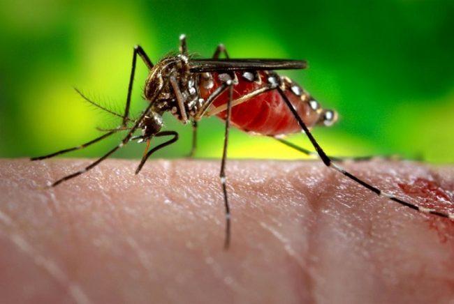 Mosquito alimentandose