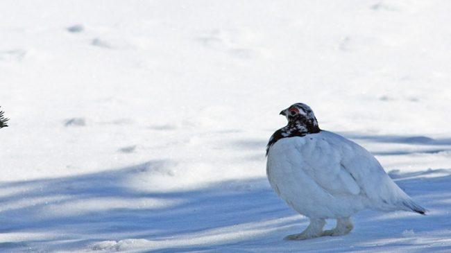El Lagópodo común (Lagopus lagopus) es un ave muy habitual en el Área Natural de Hammastunturi