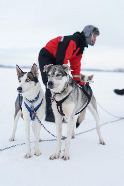 Las excursiones con huskys por el lago Inari cuando esta helado son aptas para toda la familia