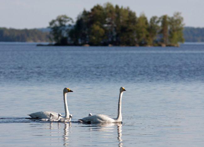 Familia de cisnes cantores en un lago de Finlandia