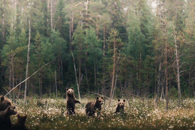 Osos pardos en Finlandia