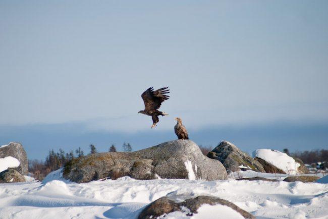 Una pareja de Pigargos Europeos águilas marinas en el archipiélago de Kvarken