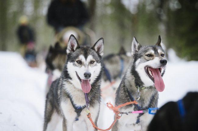 Perros Husky Siberianos en Laponia